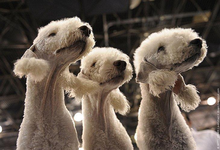Эти кудрявые овечки — бедлингтон-терьеры Плеер, Дис и Нора