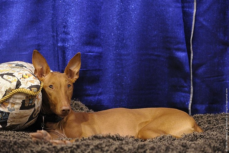 Фэйт — фараонова собака, которая не имеет никакого отношения к Древнему Египту.
