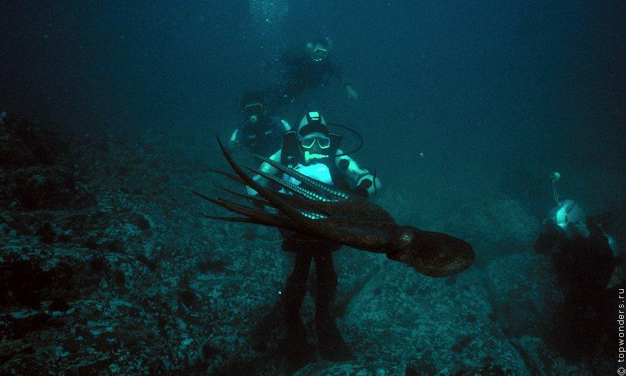Гигантский тихоокеанский осьминог Дофлейна