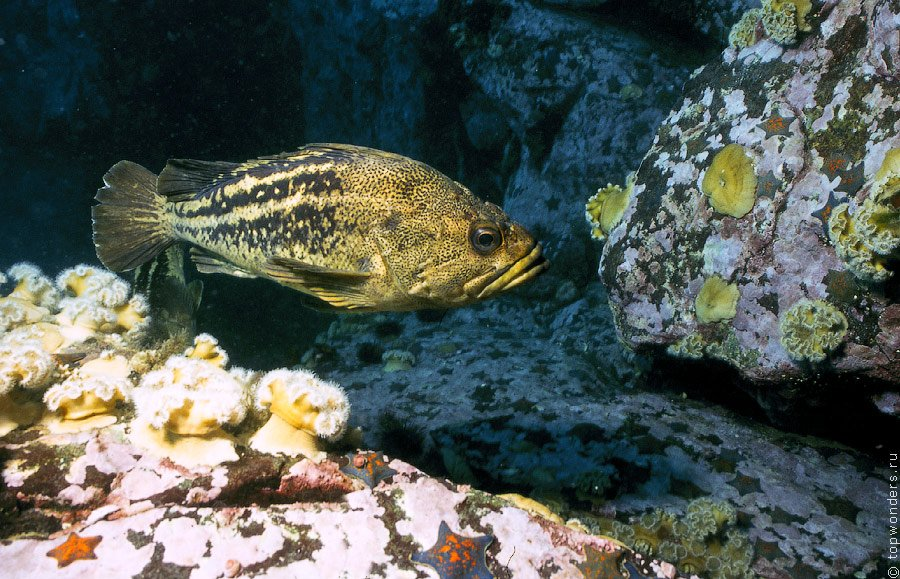 Трехполосый желтый морской окунь