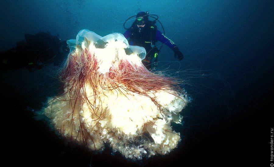 Гигантская медуза цианея