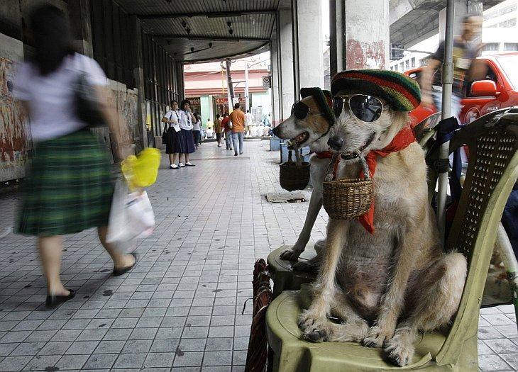 Собаки Habagat (слева) и Bagwis держат небольшие корзинки для сбора монет