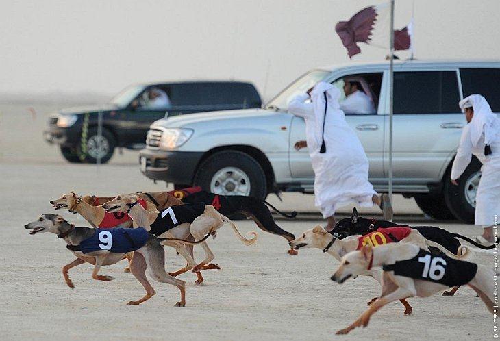 Первый чемпионат по охоте с борзыми собаками породы салюки