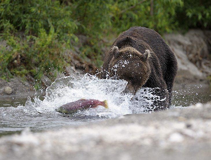 Two bear families meet on the shores of Kuril Lake/n South Kamchatka Sanctuary<><>South Kamchatka Sanctuary; Kamchatka; bear; salmon; Kuril Lake