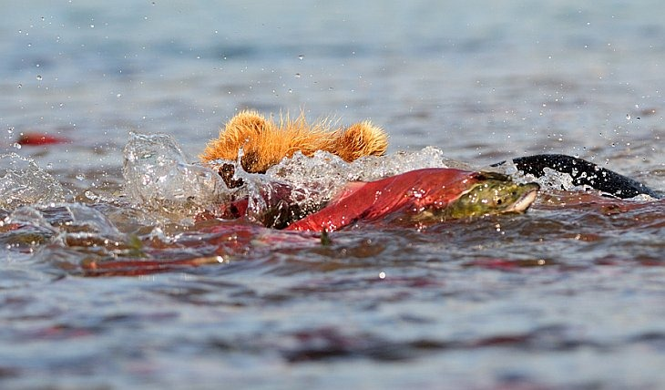 A sockeye darts from a bear by jumping into the air/n South Kamchatka Sanctuary<><>South Kamchatka Sanctuary; sockeye; Kamchatka; bear; Kuril Lake; salmon; spawning