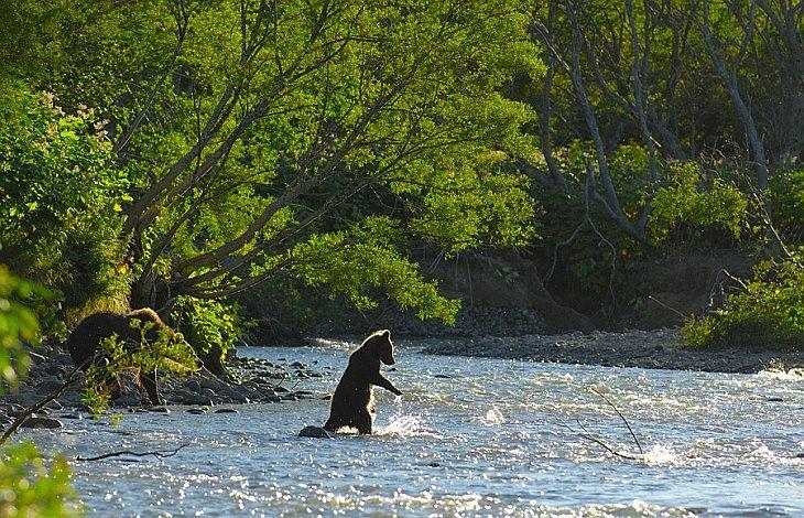 Fishing lesson Медвежонок пытается поймать лосося