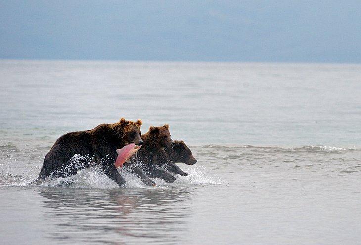Bear troika/n South Kamchatka Sanctuary<><>South Kamchatka Sanctuary; bear; Kamchatka; Kuril Lake; salmon; sockeye; spawning