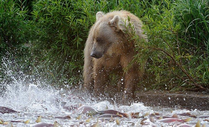 A bear with hoards of spawning sockeye/n South Kamchatka Sanctuary<><>South Kamchatka Sanctuary; sockeye; Kamchatka; bear; Kuril Lake; salmon
