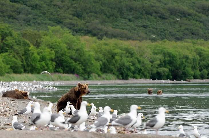 Bears with seagulls near the mouth of the Severnaya spawning creek on Kuril Lake/n South Kamchatka Sanctuary<><>South Kamchatka Sanctuary; sockeye; seagulls; Kamchatka; bear; Kuril Lake; salmon; spawning