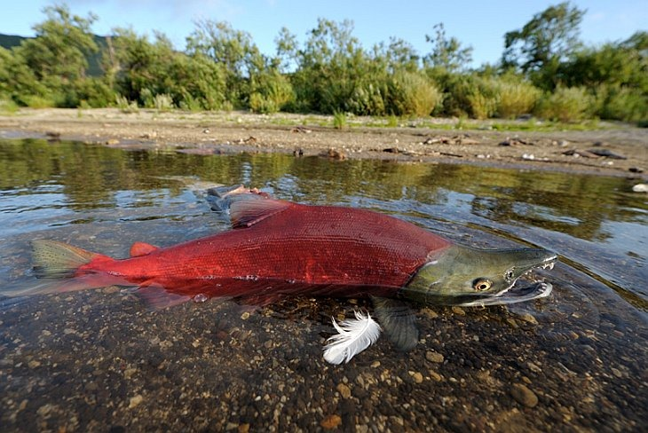 Some of the salmon rushing to spawn are thrown to shore where they become easy prey for seagulls and bears/n South Kamchatka Sanctuary<><>Oncorhynchus nerka; South Kamchatka Sanctuary; Kamchatka; Kuril Lake; sockeye; salmon; spawning