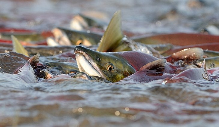 When sockeye rush spawning rivers in large number, the fish push each other out of the water/n South Kamchatka Sanctuary<><>Oncorhynchus nerka; South Kamchatka Sanctuary; Kamchatka; Kuril Lake; sockeye; salmon; spawning
