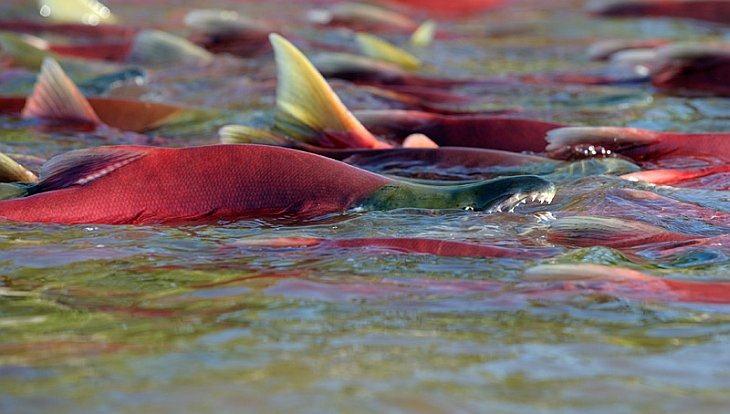 Sockeye spawning in a river/n South Kamchatka Sanctuary<><>Oncorhynchus nerka; South Kamchatka Sanctuary; Kamchatka; Kuril Lake; sockeye; salmon; spawning