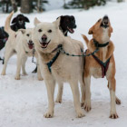 Ездовые собаки в Колорадо