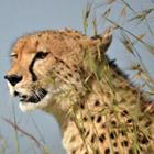 История наших встреч с гепардами