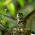 Хроника гнезда колибри