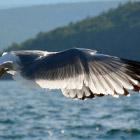 Чайки Байкала