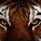 Кто сильнее: лев или тигр?