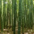 Киото. Бамбуковый лес и парк обезьян