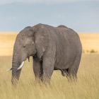 Какого размера хобот у слона