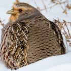 Бородатые куропатки зимой