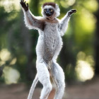Танцующие лемуры из Мадагаскара