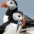 Перепись птиц на островах Фарн