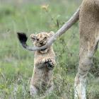 Укуси льва за хвост