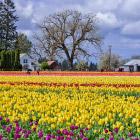 Фестиваль тюльпанов в Орегоне