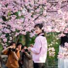 Цветущая сакура в Японии