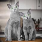 Знакомьтесь, русская голубая кошка