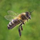 Фотографии пчел. И не только