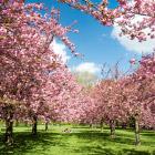 Цветение сакуры во Франции