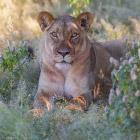 Львы из Калахари