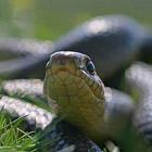 Как сфотографировать змею